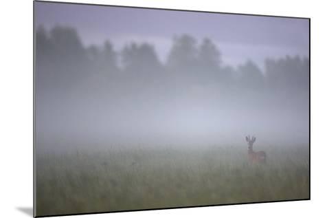 Roe Deer (Capreolus Capreolus) Buck in Wet Meadow at Dawn, Nemunas Delta, Lithuania, June 2009-Hamblin-Mounted Photographic Print