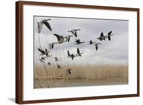 White Fronted Geese (Anser Albifrons) in Flight, Durankulak Lake, Bulgaria, February 2009-Presti-Framed Art Print