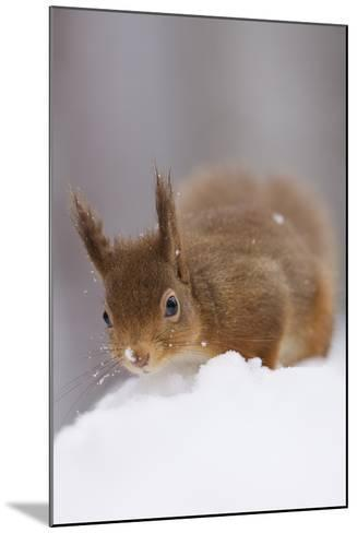 Red Squirrel (Sciurus Vulgaris) Foraging in Snow, Glenfeshie, Cairngorms Np, Scotland, February-Cairns-Mounted Photographic Print