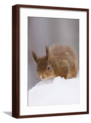 Red Squirrel (Sciurus Vulgaris) Foraging in Snow, Glenfeshie, Cairngorms Np, Scotland, February-Cairns-Framed Art Print