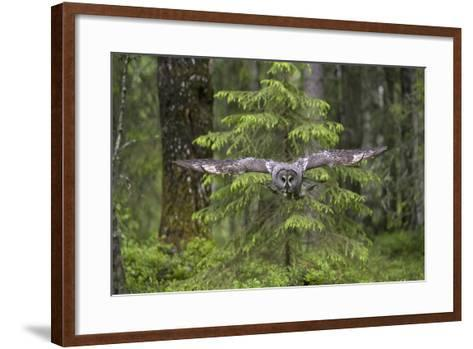 Great Grey Owl (Strix Nebulosa) in Flight in Boreal Forest, Northern Oulu, Finland, June 2008-Cairns-Framed Art Print