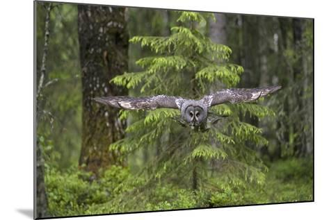 Great Grey Owl (Strix Nebulosa) in Flight in Boreal Forest, Northern Oulu, Finland, June 2008-Cairns-Mounted Photographic Print