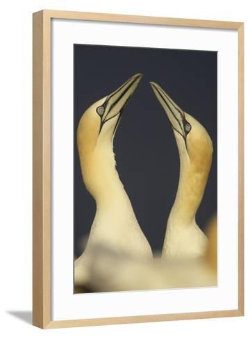 Northern Gannets (Morus Bassanus) Displaying, Saltee Islands, Ireland, May 2008- Green-Framed Art Print