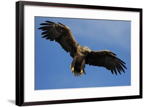 White Tailed Sea Eagle in Flight, North Atlantic, Flatanger, Nord-Trondelag, Norway, August-Widstrand-Framed Art Print