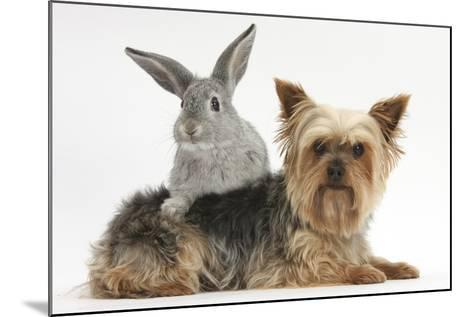 Yorkshire Terrier and Young Silver Rabbit-Mark Taylor-Mounted Photographic Print