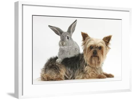 Yorkshire Terrier and Young Silver Rabbit-Mark Taylor-Framed Art Print