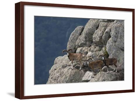 Mouflon (Ovis Musimon) Males on Rock Face, Parc Naturel Regional Du Haut-Languedoc, Caroux, France- Arndt-Framed Art Print