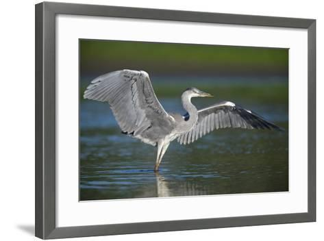 Grey Heron with Wings Out Stretched, Elbe Biosphere Reserve, Lower Saxony, Germany, September-Damschen-Framed Art Print