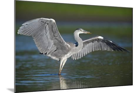 Grey Heron with Wings Out Stretched, Elbe Biosphere Reserve, Lower Saxony, Germany, September-Damschen-Mounted Photographic Print