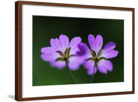 Two Hedgerow Cranesbills (Geranium Pyrenaicum) Flowers, Larochette, Mullerthal, Luxembourg, May- Tønning-Framed Art Print