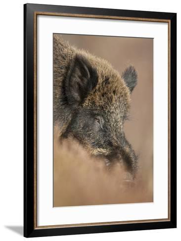 Wild Boar (Sus Scrofa) Alladale Wilderness Reserve, Scotland, March 2009-Cairns-Framed Art Print