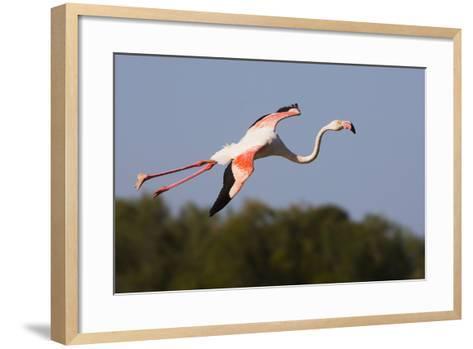 Greater Flamingo (Phoenicopterus Roseus) in Flight, Camargue, France, May 2009-Allofs-Framed Art Print