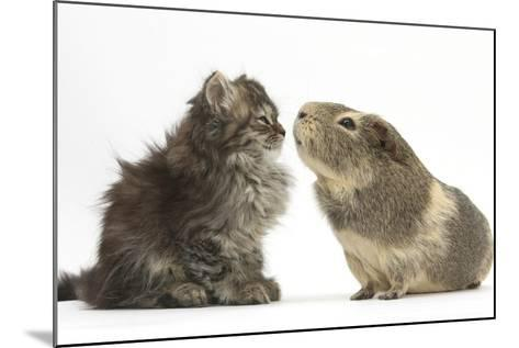 Tabby Kitten, 10 Weeks, with Guinea Pig-Mark Taylor-Mounted Photographic Print