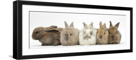 Five Baby Lionhead-Cross Rabbits in Line-Mark Taylor-Framed Art Print