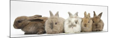 Five Baby Lionhead-Cross Rabbits in Line-Mark Taylor-Mounted Photographic Print
