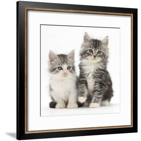 Two Maine Coon-Cross Kittens, 7 Weeks-Mark Taylor-Framed Art Print