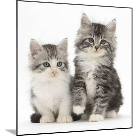 Two Maine Coon-Cross Kittens, 7 Weeks-Mark Taylor-Mounted Photographic Print
