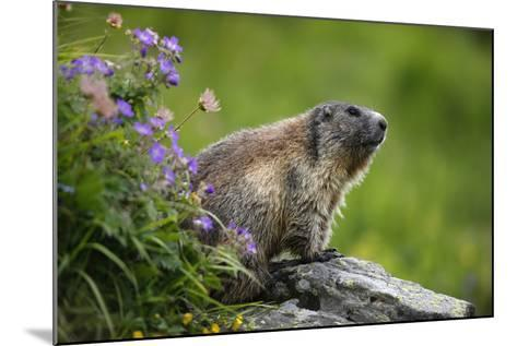Alpine Marmot (Marmota Marmota) Hohe Tauern National Park, Austria, July 2008-Lesniewski-Mounted Photographic Print