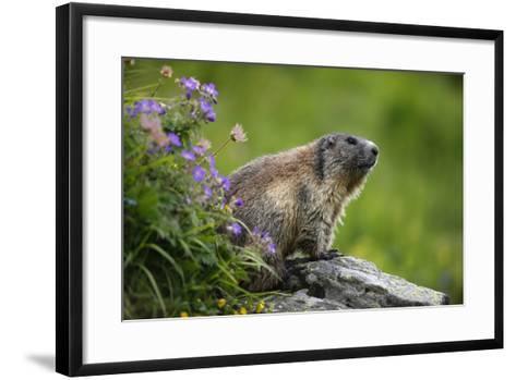 Alpine Marmot (Marmota Marmota) Hohe Tauern National Park, Austria, July 2008-Lesniewski-Framed Art Print