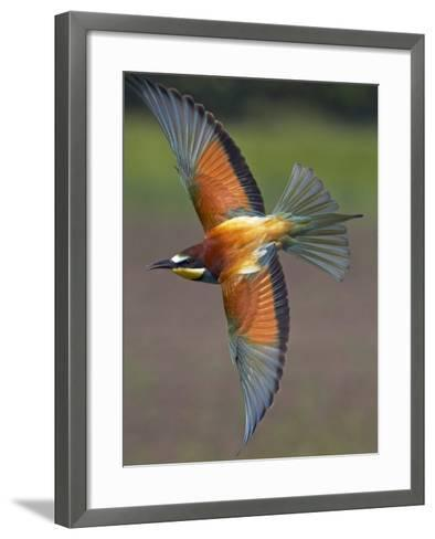 European Bee-Eater (Merops Apiaster) in Flight, Pusztaszer, Hungary, May 2008-Varesvuo-Framed Art Print