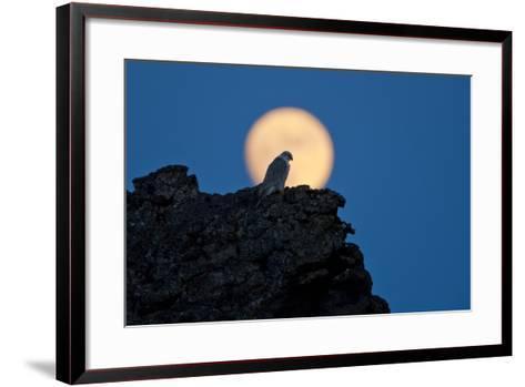 Gyrfalcon (Falco Rusticolus) Silhouetted at Full Moon, Myvatn, Thingeyjarsyslur, Iceland, April-Bergmann-Framed Art Print