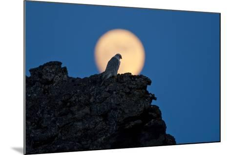 Gyrfalcon (Falco Rusticolus) Silhouetted at Full Moon, Myvatn, Thingeyjarsyslur, Iceland, April-Bergmann-Mounted Photographic Print
