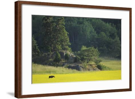 Female European Moose (Alces Alces) in Flowering Field, Elk, Morko, Sormland, Sweden, July 2009-Widstrand-Framed Art Print