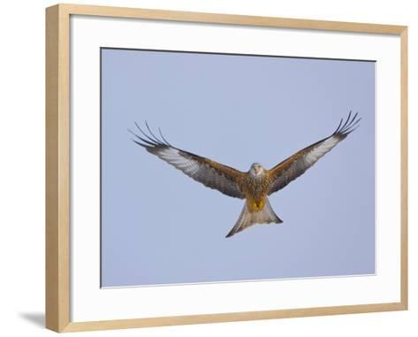 Red Kite (Milvus Milvus) in Flight, Gigrin Farm, Powys, Rhayader, Wales, UK, February 2009-Mu?oz-Framed Art Print