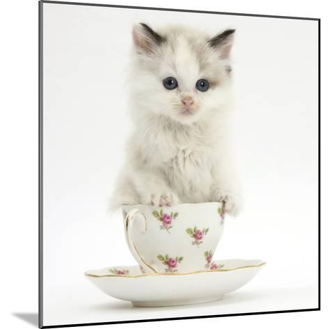 Colourpoint Kitten in a Tea Cup-Mark Taylor-Mounted Photographic Print