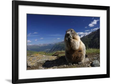 Alpine Marmot (Marmota Marmota) Feeding, Hohe Tauern National Park, Austria, July 2008-Lesniewski-Framed Art Print