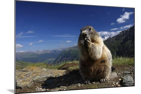 Alpine Marmot (Marmota Marmota) Feeding, Hohe Tauern National Park, Austria, July 2008-Lesniewski-Mounted Photographic Print