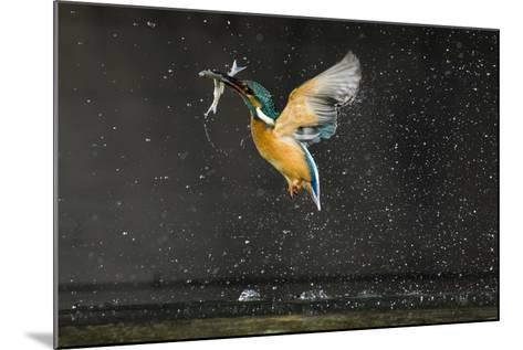 Kingfisher (Alcedo Atthis) in Flight Carrying Fish, Balatonfuzfo, Hungary, January 2009-Nov?k-Mounted Photographic Print