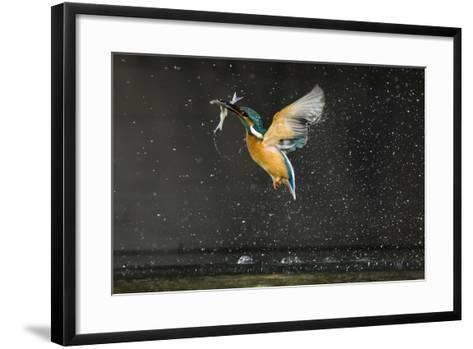 Kingfisher (Alcedo Atthis) in Flight Carrying Fish, Balatonfuzfo, Hungary, January 2009-Nov?k-Framed Art Print