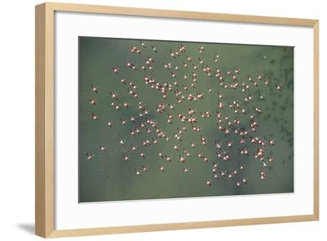 Aerial View of Greater Flamingos in Flight, Bahía De Cádiz Natural Park, Cádiz, Andalusia, Spain- López-Framed Art Print