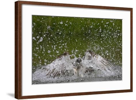 Osprey (Pandion Haliaetus) Fishing, Kangasala, Finland, August 2009-Cairns-Framed Art Print