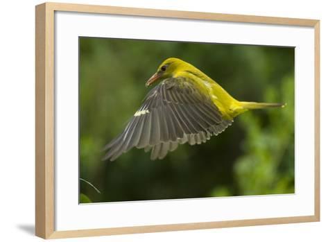 Golden Oriole (Oriolus Oriolus) Female in Flight to Nest, Bulgaria, May 2008-Nill-Framed Art Print