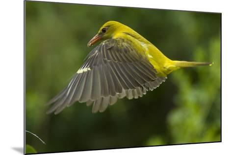 Golden Oriole (Oriolus Oriolus) Female in Flight to Nest, Bulgaria, May 2008-Nill-Mounted Photographic Print