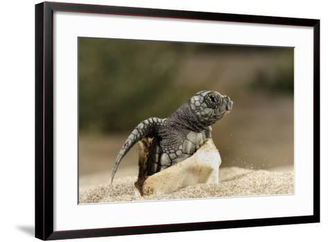 Loggerhead Turtle (Caretta Caretta) Hatching, Dalyan Delta, Turkey, July 2009-Zankl-Framed Art Print