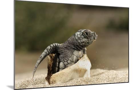 Loggerhead Turtle (Caretta Caretta) Hatching, Dalyan Delta, Turkey, July 2009-Zankl-Mounted Photographic Print