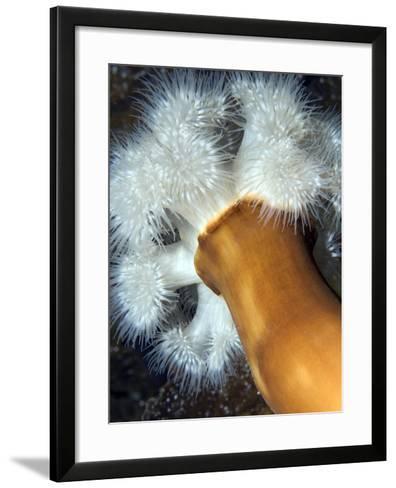 Plumose Sea Anemone (Metridium Senile) Lofoten, Norway, November 2008-Lundgren-Framed Art Print