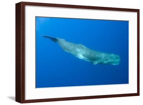 Sperm Whale (Physeter Macrocephalus) Pico, Azores, Portugal, June 2009-Lundgren-Framed Art Print