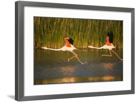 Two Greater Flamingos (Phoenicopterus Roseus) Taking Off from Lagoon, Camargue, France, May 2009-Allofs-Framed Art Print