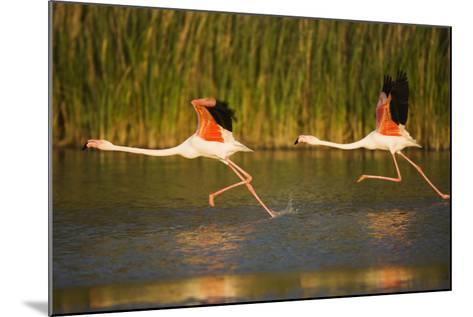 Two Greater Flamingos (Phoenicopterus Roseus) Taking Off from Lagoon, Camargue, France, May 2009-Allofs-Mounted Photographic Print