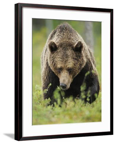 Eurasian Brown Bear (Ursus Arctos) Suomussalmi, Finland, July 2008-Widstrand-Framed Art Print