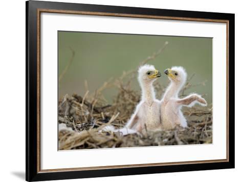 Two Steppe Eagle (Aquila Nipalensis) Chicks in their Nest. Cherniye Zemli Nr, Kalmykia, Russia- Shpilenok-Framed Art Print