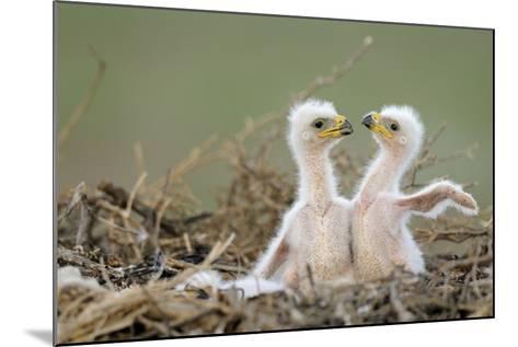 Two Steppe Eagle (Aquila Nipalensis) Chicks in their Nest. Cherniye Zemli Nr, Kalmykia, Russia- Shpilenok-Mounted Photographic Print