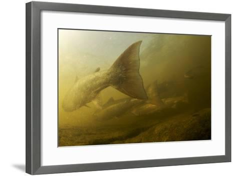 Atlantic Salmon (Salmo Salar) Migrating Upstream to Spawn, Ume?lven, Sweden, July 2009- Roggo-Framed Art Print