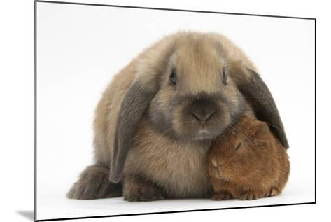 Baby Guinea Pig and Rabbit-Mark Taylor-Mounted Photographic Print