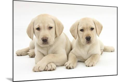 Yellow Labrador Retriever Puppies, 9 Weeks-Mark Taylor-Mounted Photographic Print