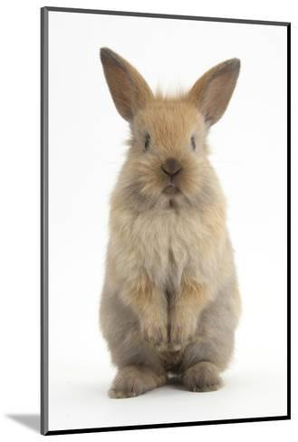 Baby Lionhead Cross Lop Rabbit, Standing-Mark Taylor-Mounted Photographic Print